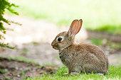 Baby rabbit in park, in Paris