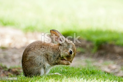 Baby rabbit in a park