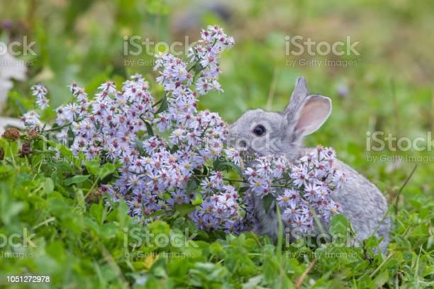 Baby rabbit in purple flowers picture id1051272978?b=1&k=6&m=1051272978&s=612x612&h=lskm4e xl7xrk3bpbj9trusowbuj6awqrkte1rzhxdo=