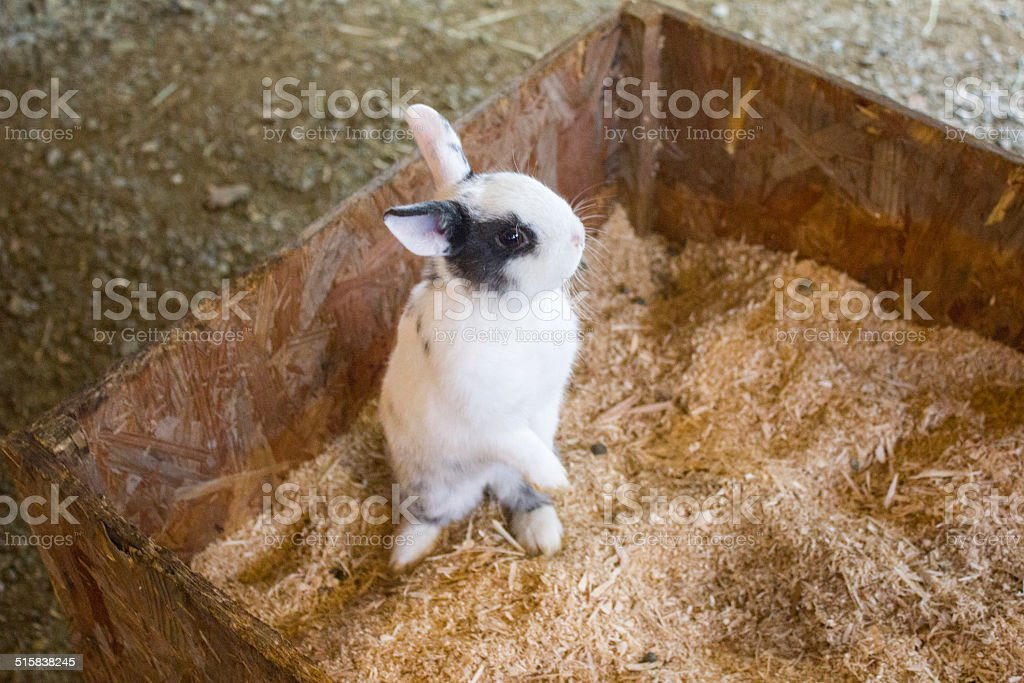 Baby Rabbit Standing Up royalty-free stock photo