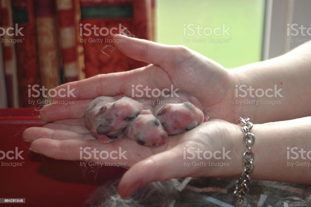 Baby Rabbits royalty-free stock photo