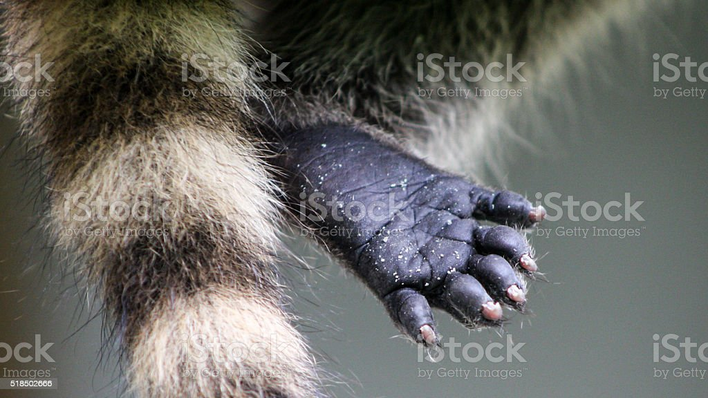 Baby raccoon detail of foot or paw stock photo