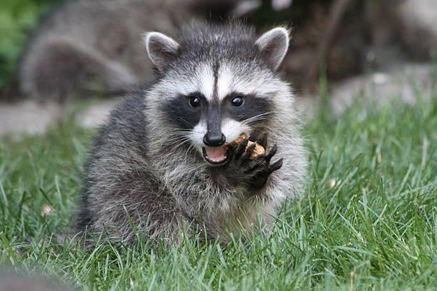 Baby Raccoon eating stock photo