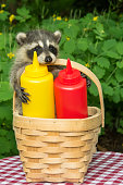 A baby raccoon raiding a picnic basket.