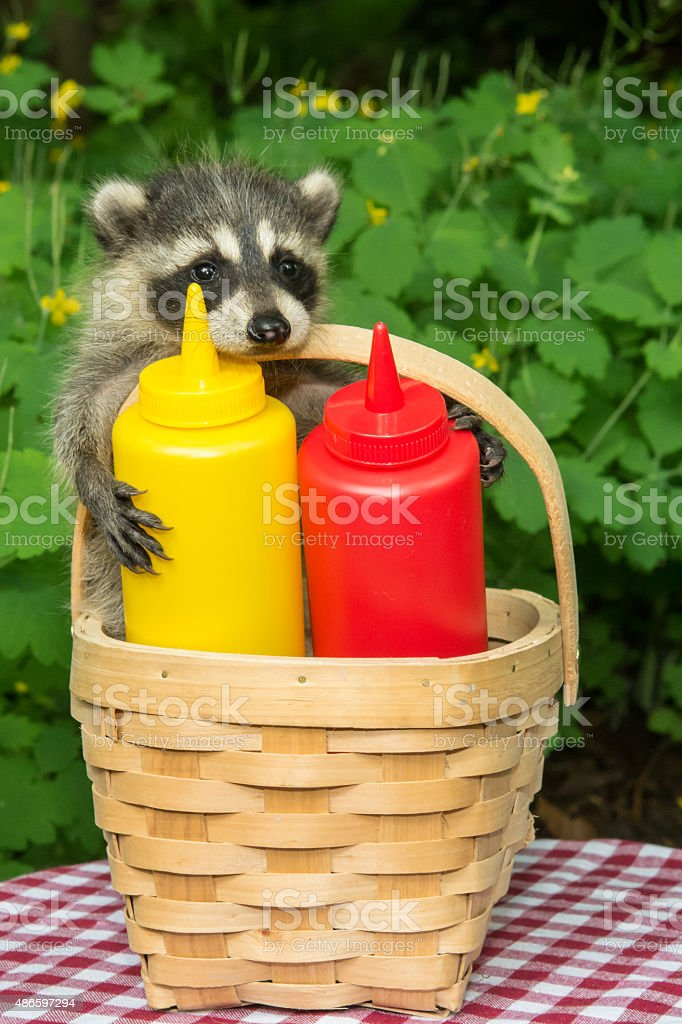 Baby Raccoon in a Picnic Basket stock photo