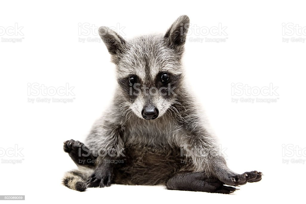 Baby raccoon on white background stock photo