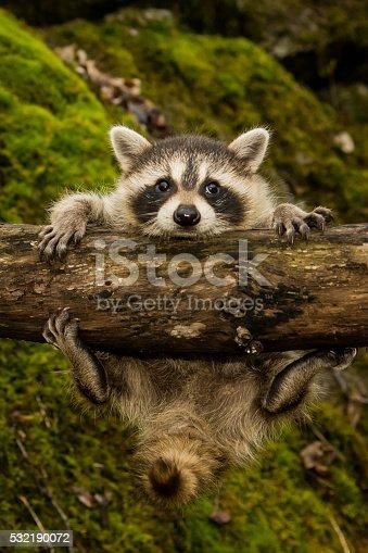 istock Baby Raccoon 532190072