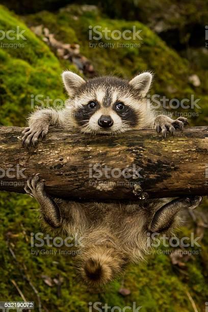 Baby raccoon picture id532190072?b=1&k=6&m=532190072&s=612x612&h=wsambqqv j8xwral4ip9khmeh3q mcmveqwjhxpgj6o=