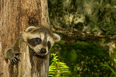 A baby raccoon hiding in a hollowed out tree.