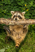 A baby raccoon hanging from a branch in the garden.
