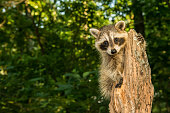 A baby raccoon climbing an old tree stump in the forest.