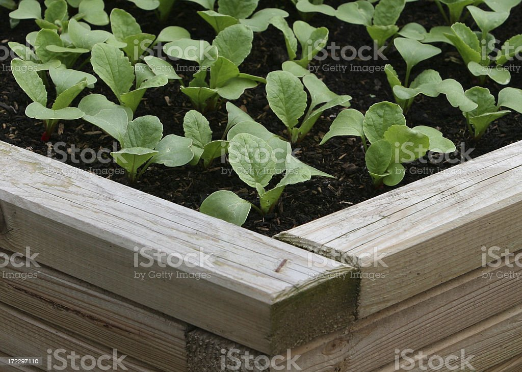 Baby Raddish Seedlings royalty-free stock photo