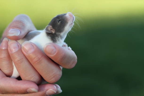 Baby Rat in Hand Sniffing Air stock photo