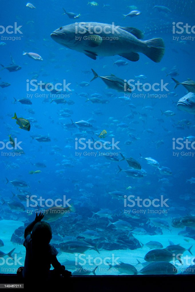 Baby reaches for Giant Grouper in Aquarium stock photo