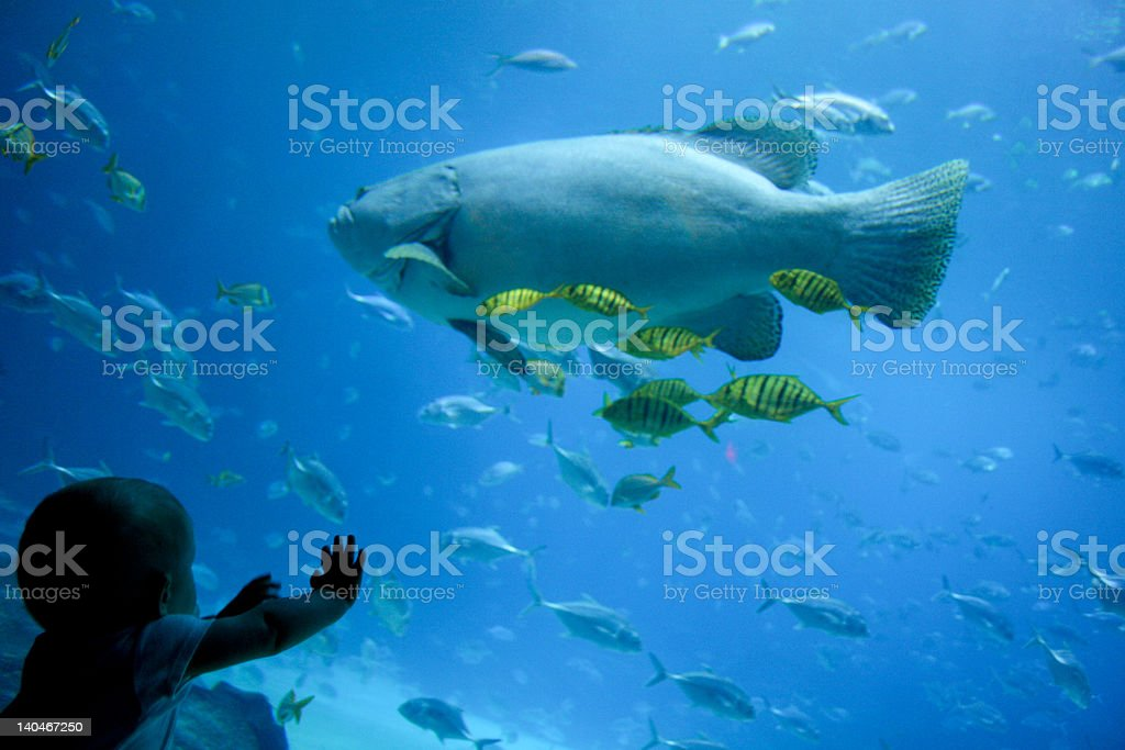 Baby reaches for giant grouper in large aquarium stock photo