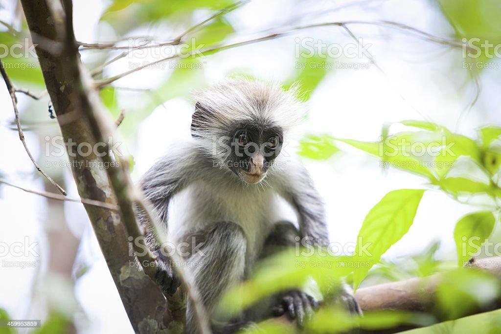 Baby red colobus monkey in Zanzibar stock photo