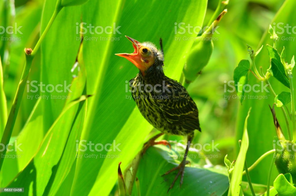 Baby Red-winged Blackbird with backlit, translucent beak begging for food royalty free stockfoto