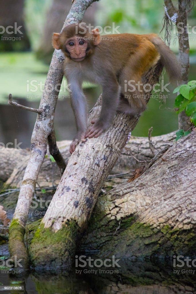 Baby Rhesus Macaque Monkey in Silver Springs, Florida stock photo