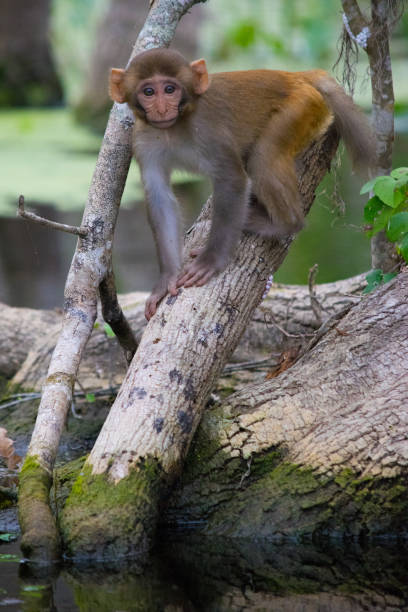 Baby Rhesus Macaque Monkey in Silver Springs, Florida A baby monkey on the swamp along the Silver River in Ocala, Florida. monkey stock pictures, royalty-free photos & images