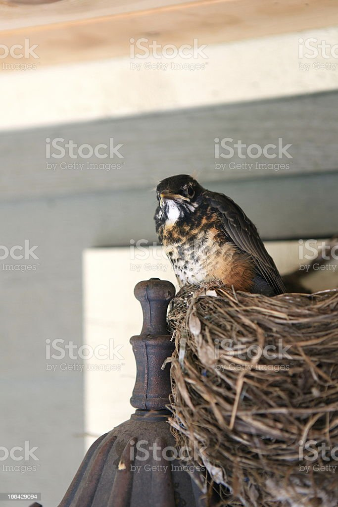 Baby Robin Perched on Nest royalty-free stock photo