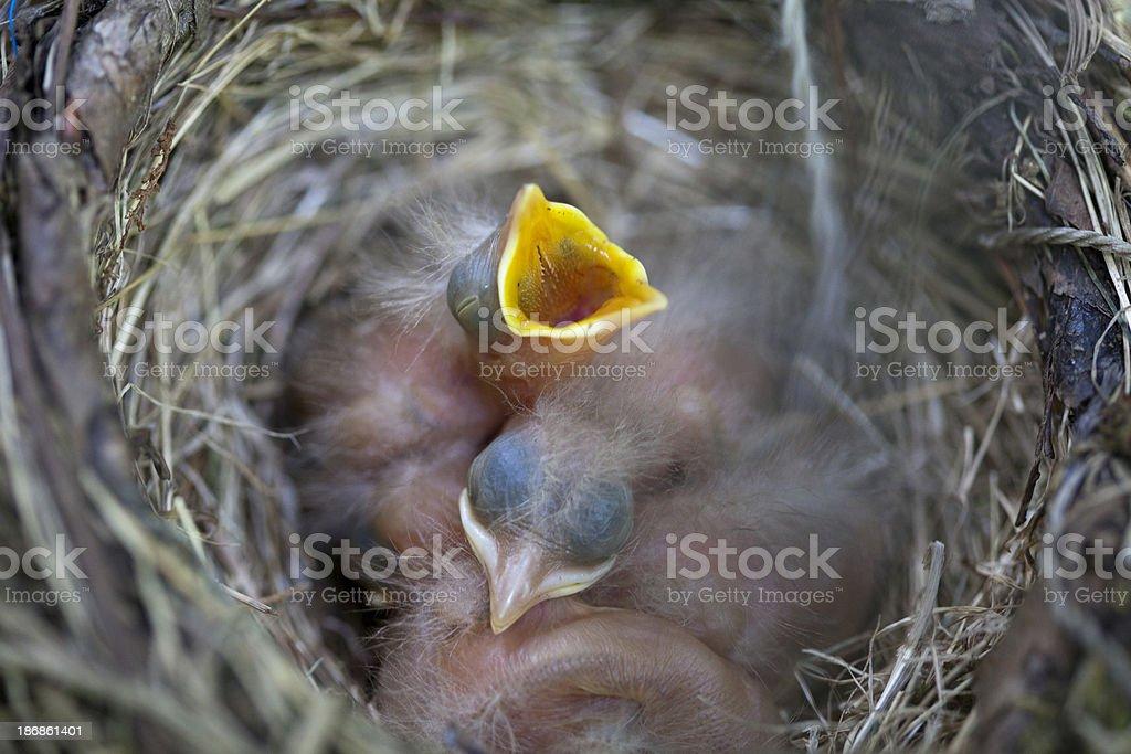 Baby robin royalty-free stock photo
