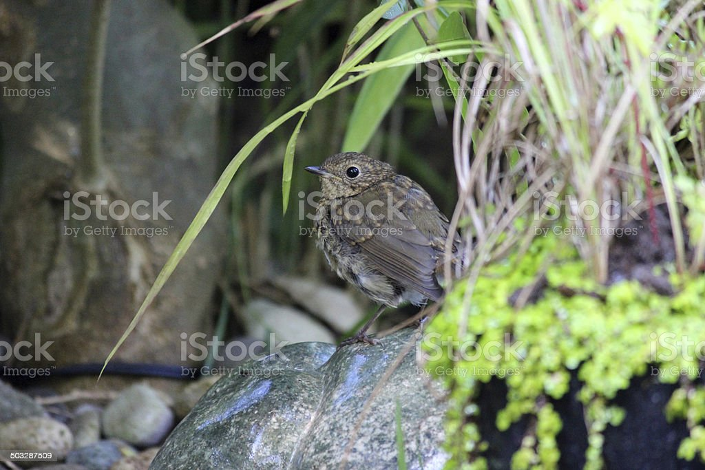 Baby robin redbreast bird in garden, young fledging robin image royalty-free stock photo