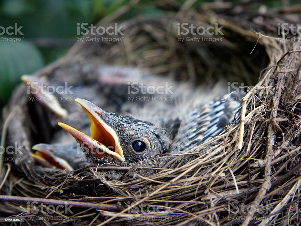 Baby Robins royalty-free stock photo