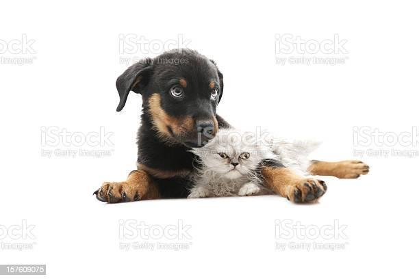 Baby rottweilerand persian cat picture id157609075?b=1&k=6&m=157609075&s=612x612&h=khe ovy5rnz01jpnqdpj7sobtdszaaacvzy kh6mu8w=