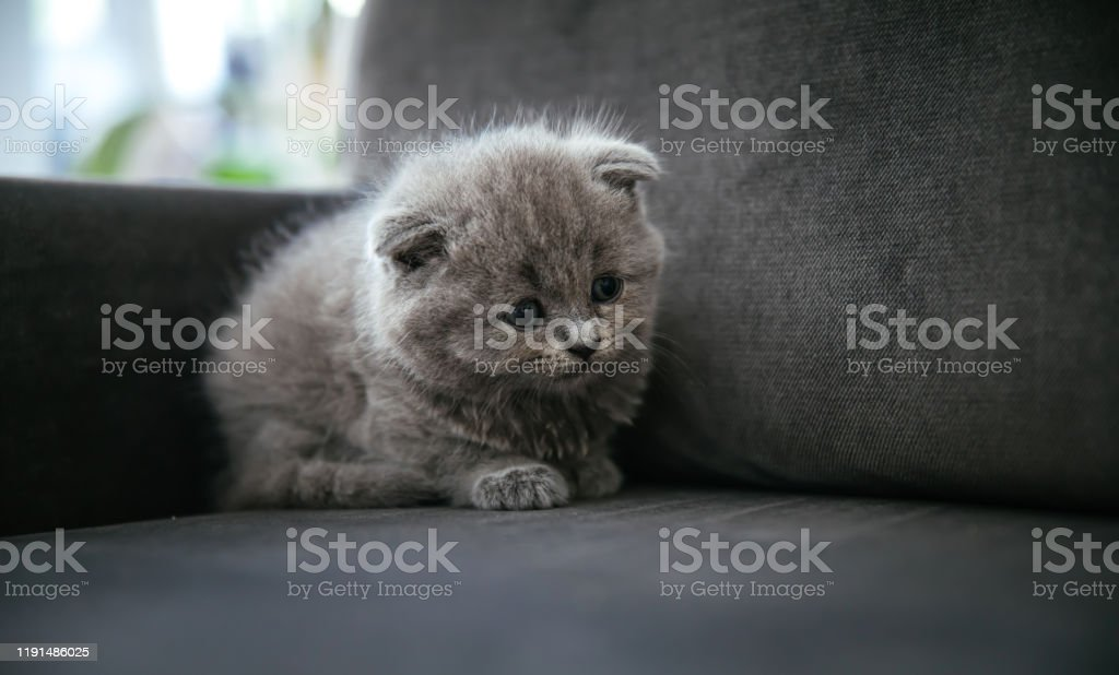Baby Scottish Fold Gray Kitten Portrait Of A Cute Beautiful Sweet And Fluffy Grey Scottish Fold Cat Stock Photo Download Image Now Istock