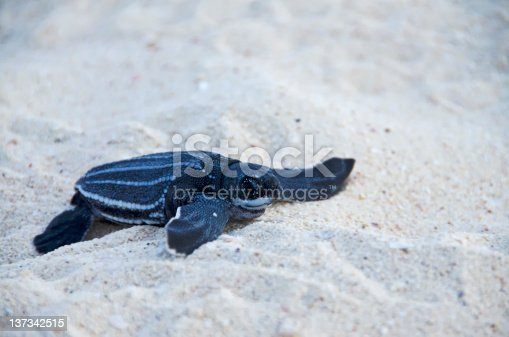 A Baby Sea Leatherback Turtle Crawls into the Ocean for the First Time.