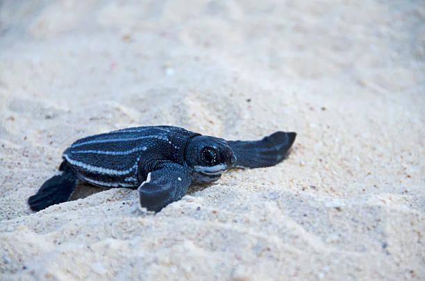 baby sea leatherback turtle - leatherback stockfoto's en -beelden