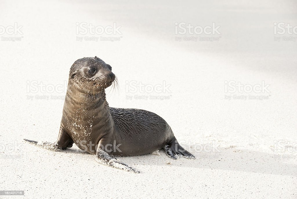 Baby Sea Lion fresh from a swim stock photo