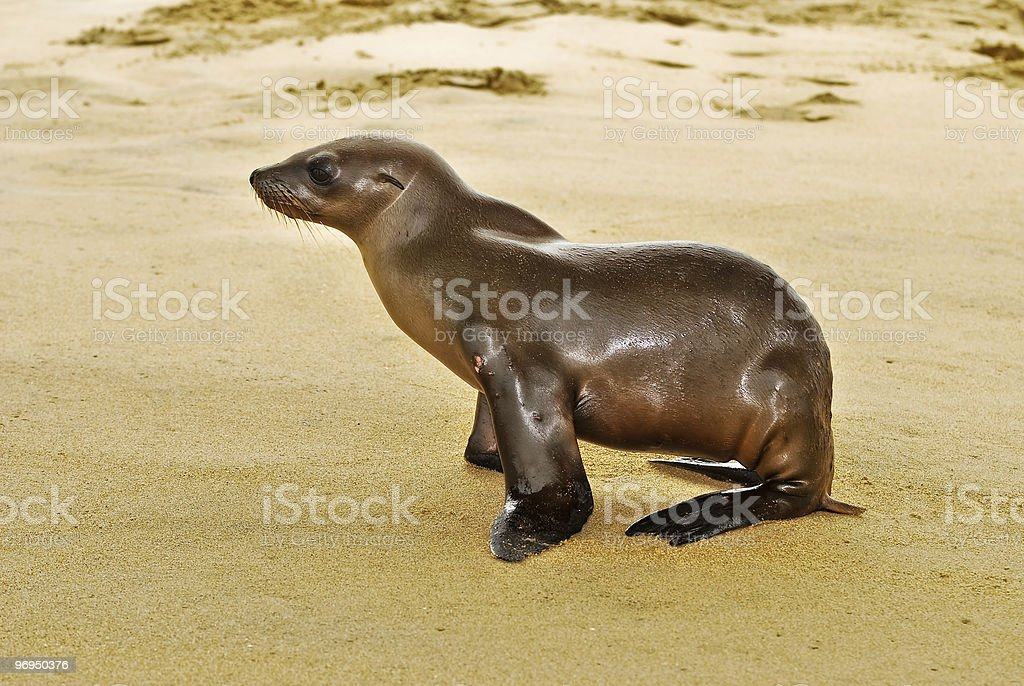 Baby sea lion pup royalty-free stock photo