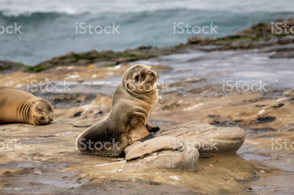 Baby Sea Lion Pup sitting on the rocks - La Jolla, San Diego, California stock photo