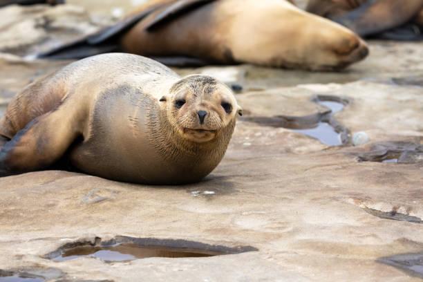 Baby Sea Lion Pup sleeping on the rocks stock photo