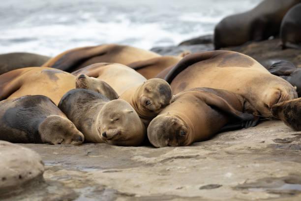 Baby Sea Lion pups sleeping on the rocks stock photo