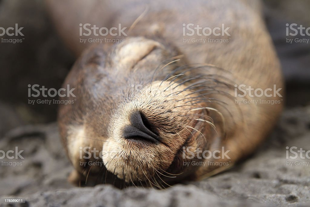 Baby sea lion sleeping in the Galapagos Islands royalty-free stock photo