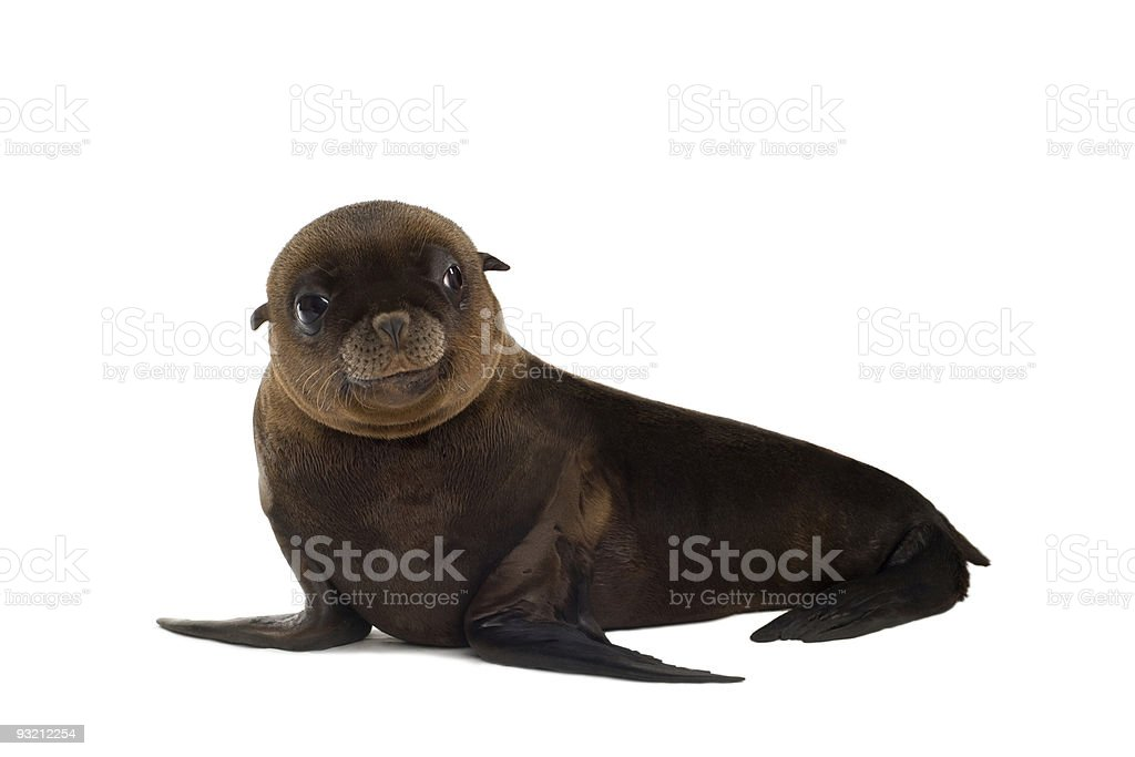 Baby sea lion with a white background stock photo