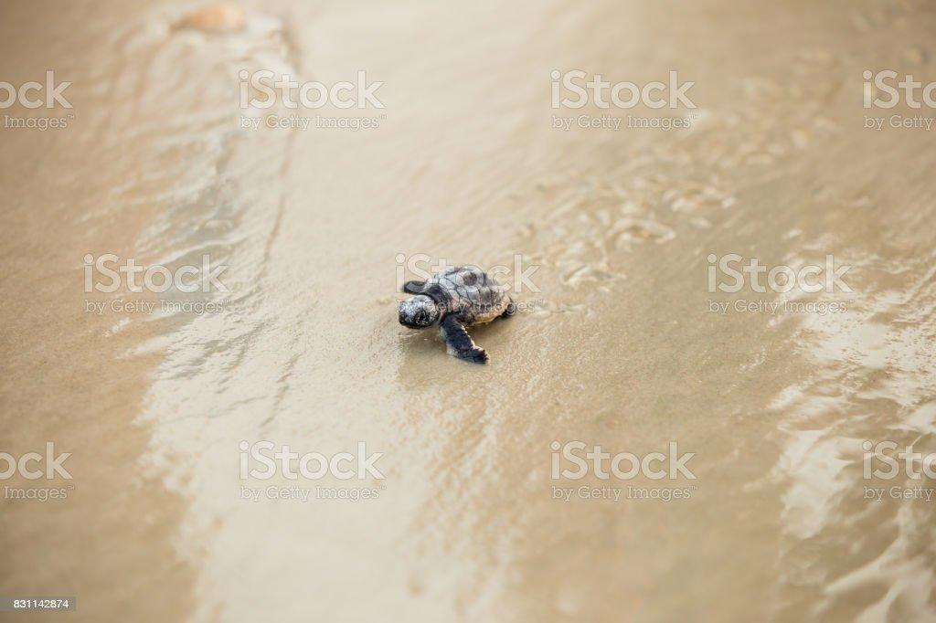 Baby Sea turtle crawling stock photo