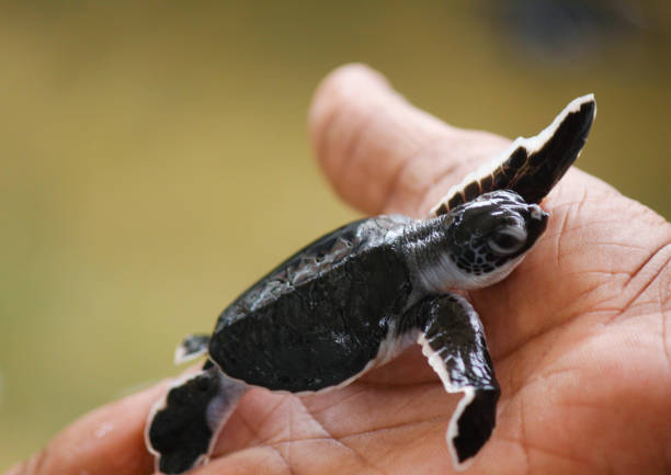 baby meeresschildkröte schlüpfen. ein tag alte meeresschildkröten in hikkaduwa in der schildkrötenfarm.,sri lanka . loggerhead baby meeresschildkröte - babyschildkröten stock-fotos und bilder