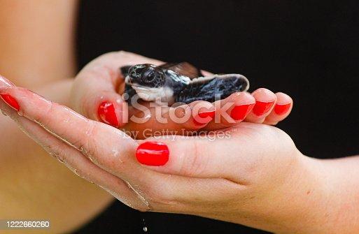 baby sea turtle hatching. One day old sea turtles in Hikkaduwa in the turtle farm.,Sri Lanka . Loggerhead baby sea turtle
