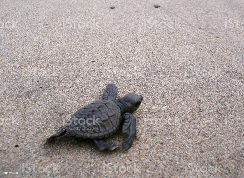 Baby Sea Turtle Hikes Through The Sand To The Sea stock photo