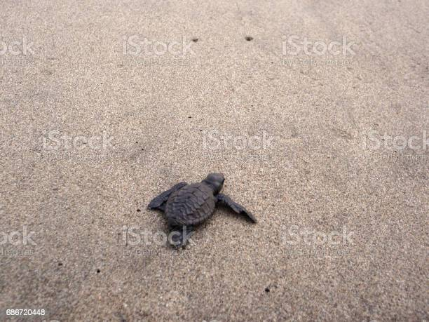 Baby sea turtle hikes through the sand to the sea picture id686720448?b=1&k=6&m=686720448&s=612x612&h=ikg0546g1cedprjeuzomj4qcovnf3rcm0v3u71dxyhw=