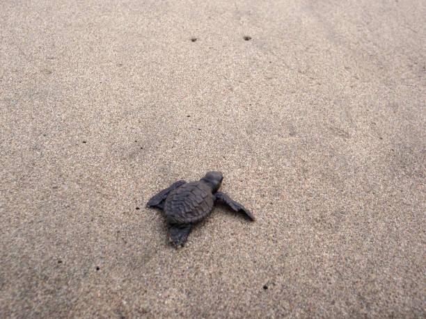 Baby sea turtle hikes through the sand to the sea stock photo