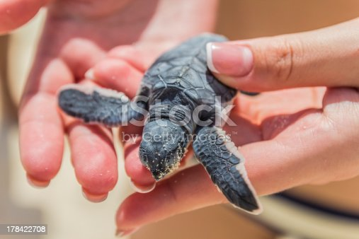 Close-up of a sea turtle in the hand of a girl.