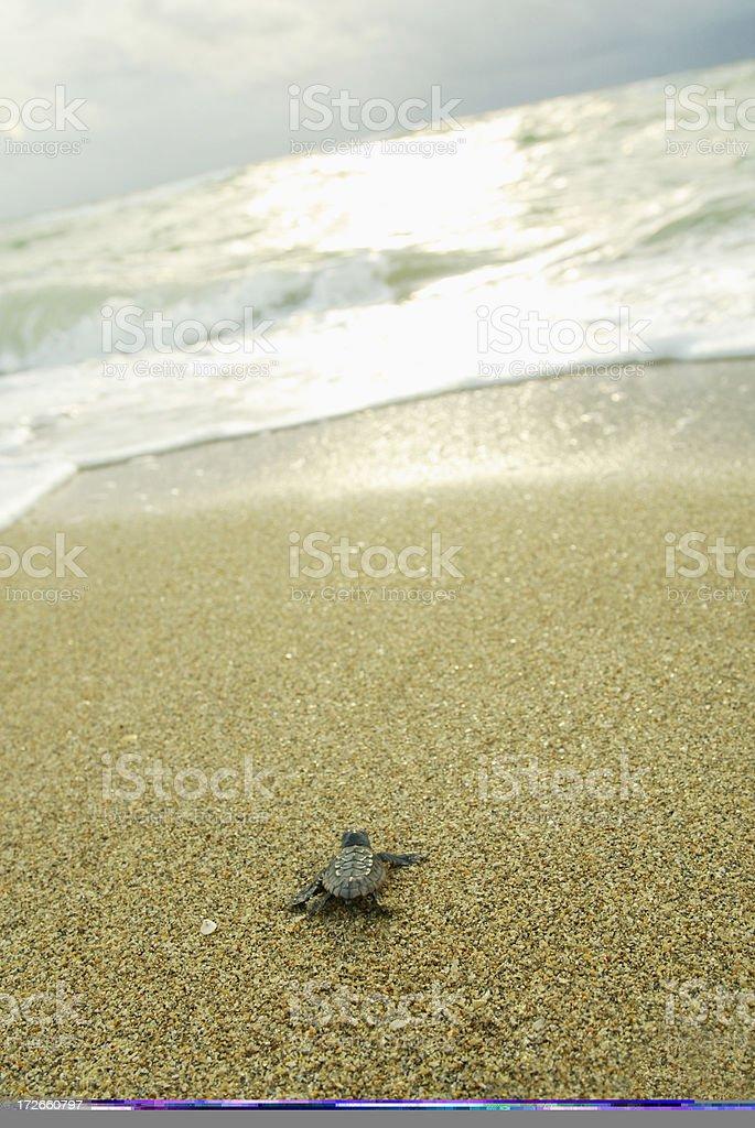 Baby Sea Turtle royalty-free stock photo