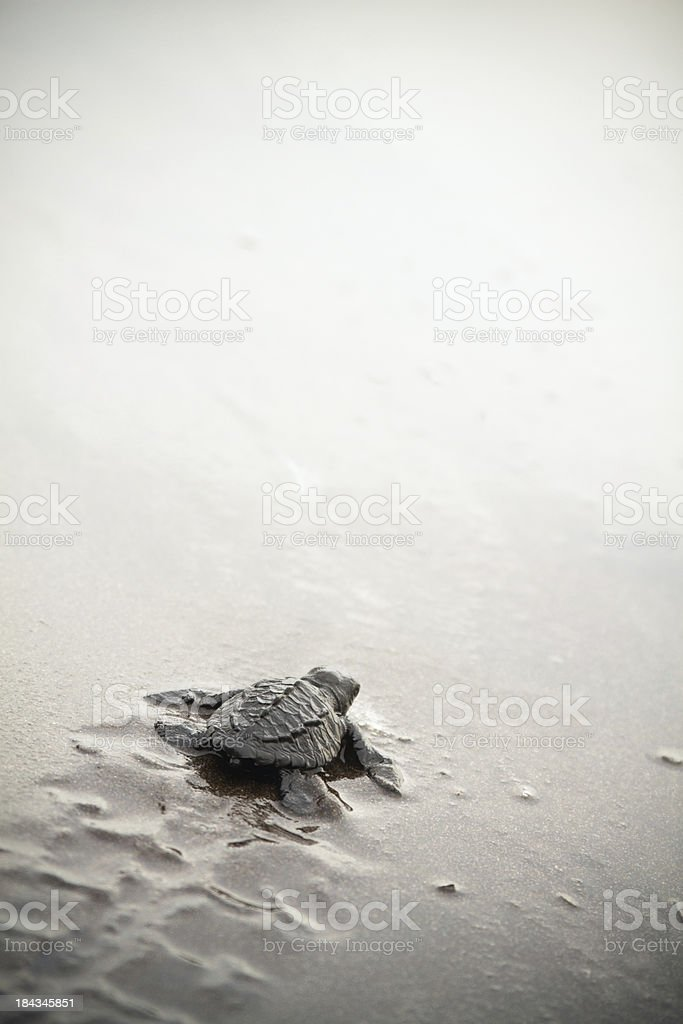 Baby Sea Turtle stock photo