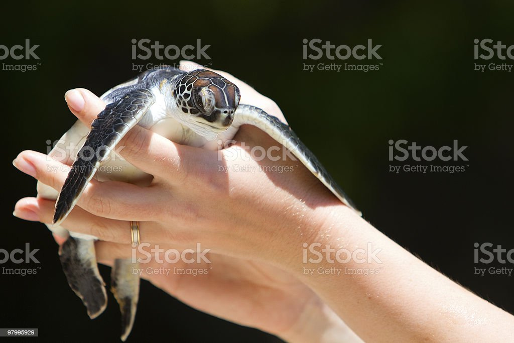 Baby sea turtle royalty-free stock photo