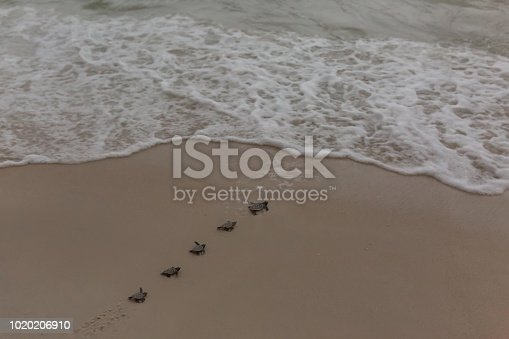 Baby sea turtles hatching and making their way to sea