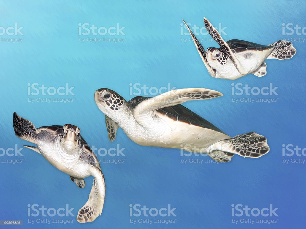 Baby Sea Turtles royalty-free stock photo